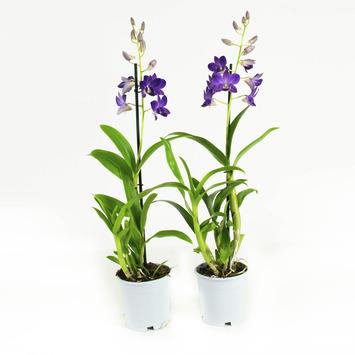 Orchidée Blue Happiness 2 pièces