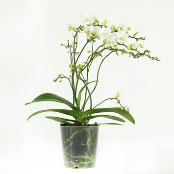 Orchidee wit soft Cloud 50 cm hoog