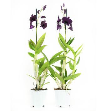 Orchidée Thailand Black 2 pièces
