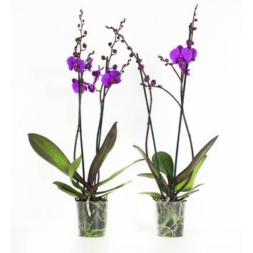 Orchidée lilas Atlantis 2 pièces