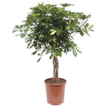 Vingerboom (Schefflera Gold Capella) 100 cm hoog