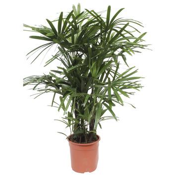 Stokpalm (Rhapis palm) 110 cm hoog