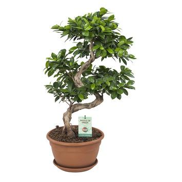 Bonsai Ficus Ginseng hauteur 70 cm