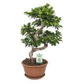 Bonsai Ficus (Bonsai gin seng) 70 cm hoog