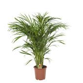 Goudpalm (Areca palm) 100 cm hoog