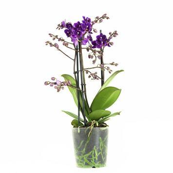 Orchidée Phalaenopsis violette