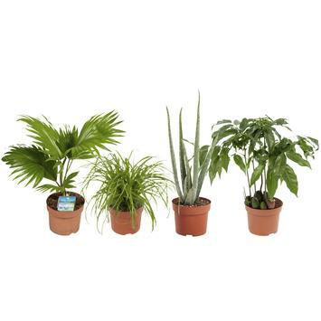 Combi 4 plantes - Aloe vera, Châtaignier d'Australie, Palmier éventail, Herbe-aux-chats