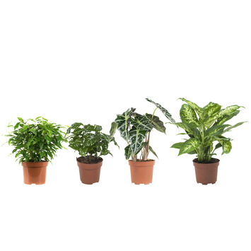 Combi 4 plantes - Ficus, Caféier, Alocasia et Dieffenbachia