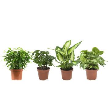 Combi 4 plantes - Caféier, Dieffenbachia, Syngonium et Ficus