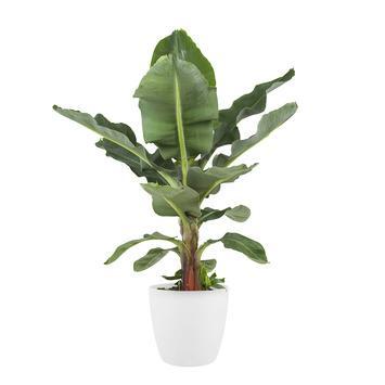 Bananenplant (Musa) met bloempot wit