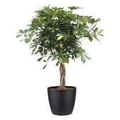 Vingerboom 'Gold Capella'  met bloempot zwart