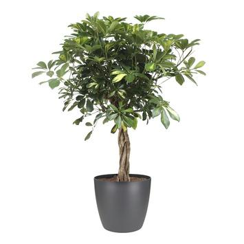 Schefflera 'Gold Capella' en pot anthracite