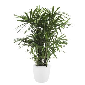 Palmier Rhapis en pot blanc