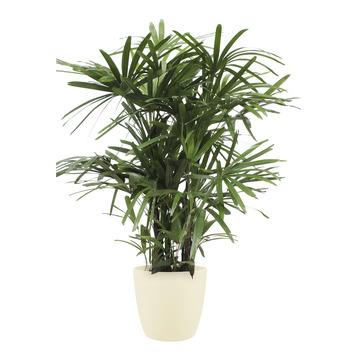Stokpalm (Rhapis palm) met bloempot beige