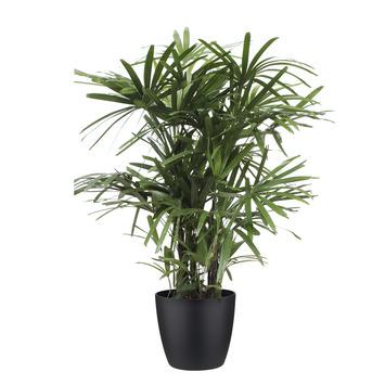 Palmier Rhapis en pot noir