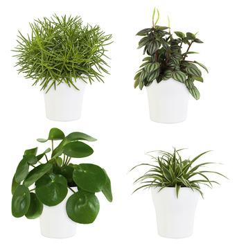 Combi 4 plantes - Pilea peperomioides, Pépéromie, Chlorophytum, Séneçon en pot blanc