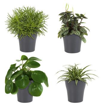 Combi 4 plantes - Pilea peperomioides, Pépéromie, Chlorophytum, Séneçon en pot gris