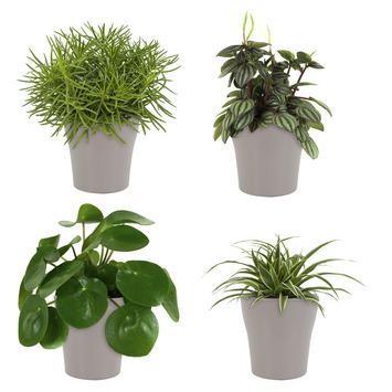 Combi 4 plantes - Pilea peperomioides, Pépéromie, Chlorophytum, Séneçon en pot taupe