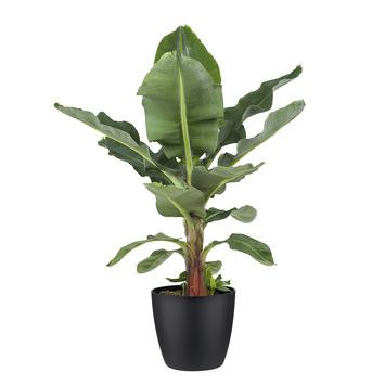 Bananenplant (Musa) met bloempot zwart