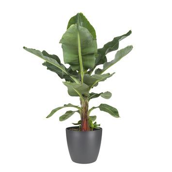 Bananenplant (Musa) met bloempot antraciet