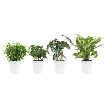 Combi 4 plantes - Ficus, Caféier, Alocasia et Dieffenbachia en pot blanc