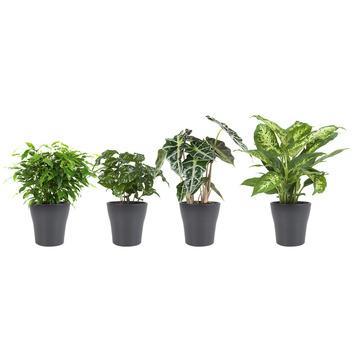 Combi 4 plantes - Ficus, Caféier, Alocasia et Dieffenbachia en pot gris