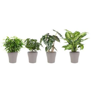 Combi 4 plantes - Ficus, Caféier, Alocasia et Dieffenbachia en pot taupe