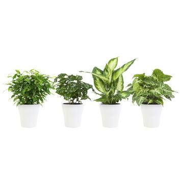 Combi 4 plantes - Caféier, Dieffenbachia, Syngonium et Ficus en pot blanc