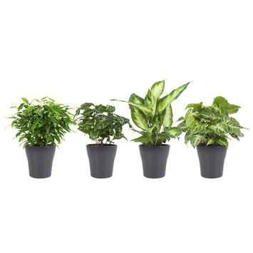Combi 4 plantes - Caféier, Dieffenbachia, Syngonium et Ficus en pot gris