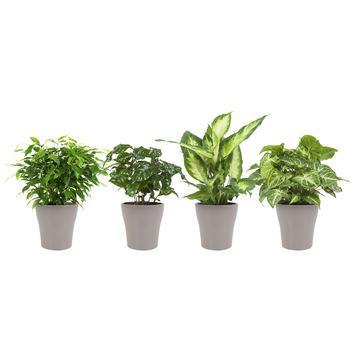 Combi 4 plantes - Caféier, Dieffenbachia, Syngonium et Ficus en pot taupe