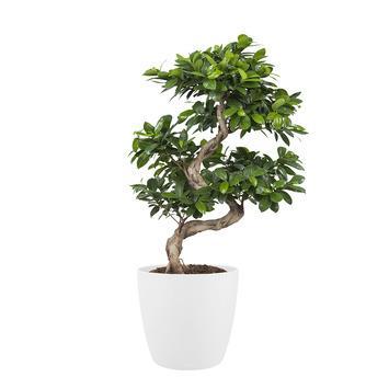 Bonsai Ficus met bloempot wit