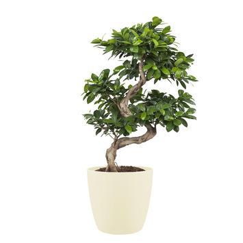 Bonsai Ficus en pot beige