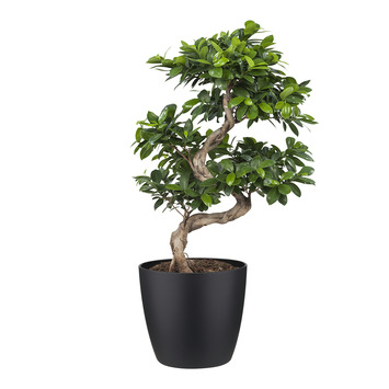Bonsai Ficus en pot noir