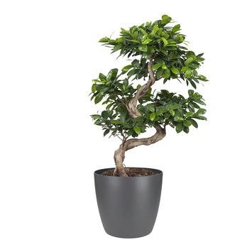 Bonsai Ficus en pot anthracite