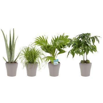 Combi 4 plantes - Aloe vera, Châtaignier d'Australie, Palmier éventail, Herbe-aux-chats en pot taupe