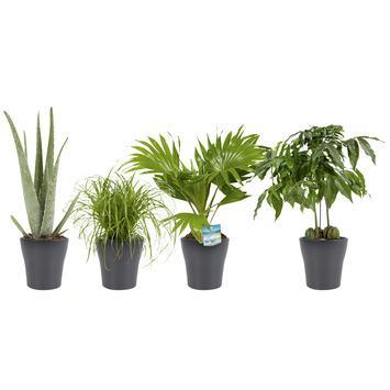 Combi 4 plantes - Aloe vera, Châtaignier d'Australie, Palmier éventail, Herbe-aux-chats en pot gris