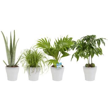 Combi 4 plantes - Aloe vera, Châtaignier d'Australie, Palmier éventail, Herbe-aux-chats en pot blanc
