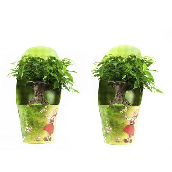 Ficus 'Conte de fée' 2 pièces