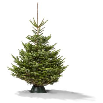 Kerstboom Picea potgekweekt 60-80 cm