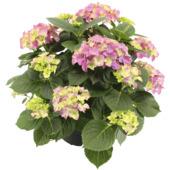 Hortensia en pot 19 cm
