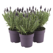 LavendeAnouk dark purple en pot 12 cm