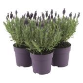 Lavende Anouk dark purple en pot 19 cm