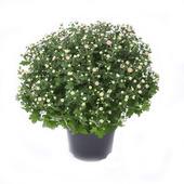 Chrysantème 50 cm