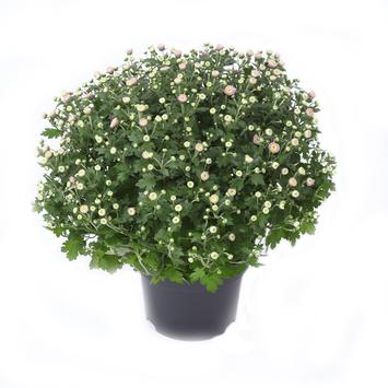 Chrysantème 35 cm