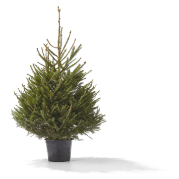 Kerstboom Picea Fraseri 100-150 cm in pot
