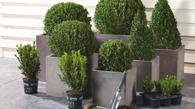 Buxus in pot planten
